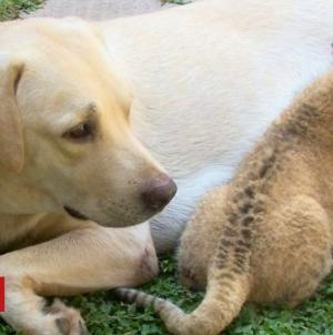 Ženka psa odgojila odbačeno mladunče lava