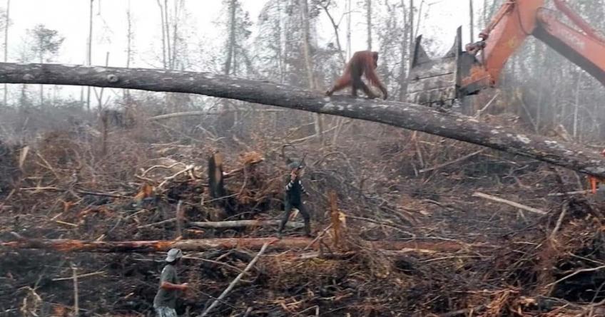 Orangutan hrabro pokušavao zaustaviti bager koji uništava njegov dom