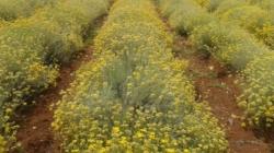 Nema više berbe smilja u Hercegovini, napušteno hiljade plantaža