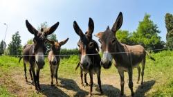 Uzgoj magaraca unosan, ali rijedak posao