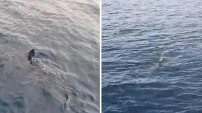 Turisti kod Makarske opet prestravljeni, morski pas se sada približio brodovima