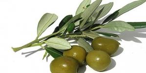 Maslina – drvo života sa zlatnom tečnošću