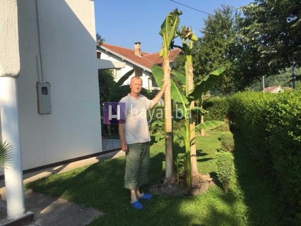 Živinice: Muhamed Vrtagić sadi banane koje dosežu i do tri metra