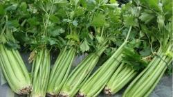 Celer: Biljka koja se smatra pravim izvorom zdravlja