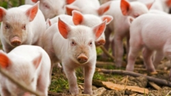 Sjeverna Makedonija zabranila uvoz svinja i svinjskog mesa iz Srbije