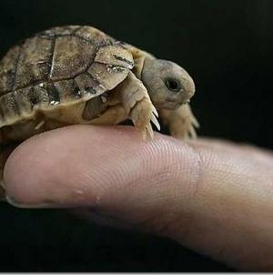 Teška oko 10 grama i velika poput kovanice: Ovo je najmanja kornjača na svijetu