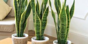 Tražite li kućne biljke koje vam sigurno neće uvenuti, ova lista je za vas