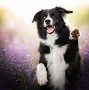 Border Collie – genijalac u svijetu pasa