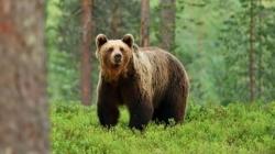 U posljednja tri mjeseca BiH ostala bez šest jedinki medvjeda