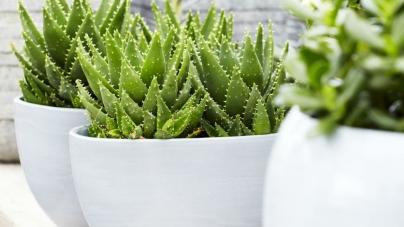 Želite li pročistiti zrak u vašem domu? Kupite neku od ovih biljaka
