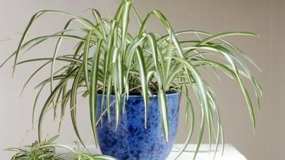 Zeleni ljiljan za čist zrak u kući