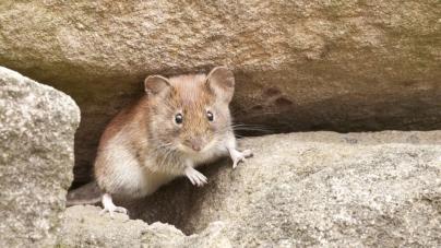 Šta znamo o mišjoj groznici koja se širi u regionu